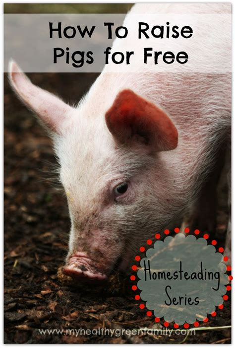 How To Raise Feeder Pigs raising pigs for free how to scavenge food for your pigs livestock pork