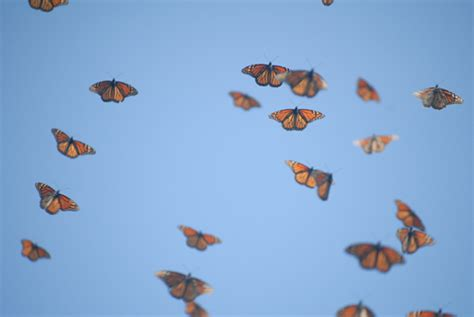 on the wing travels with the songbird migration of books wksu news fall monarch migration begins as population