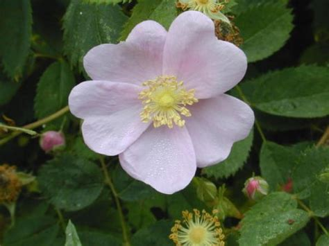 state flowers state flower of iowa wild prairie roses pictures