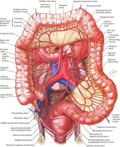 diagram human bowel diagram human anatomy human library