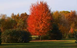 autumn blaze maple knecht s nurseries landscaping