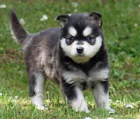 klee puppy moko the alaskan klee puppies daily puppy