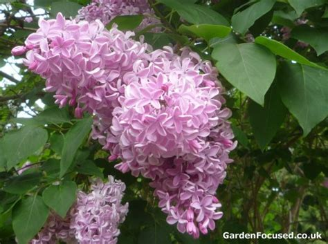lilac tree expert advice on caring for your lilac tree