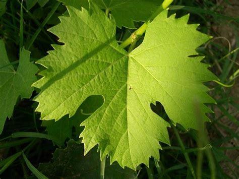 pianta di vite in vaso vite uva uva vite e uva