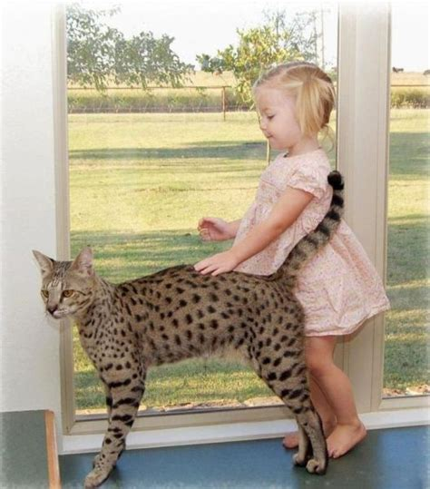 The Huge Domesticated Savannah Cat (11 pics)   Izismile.com
