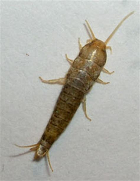 long insects in bathroom silverfish what s that bug