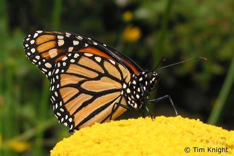 monarch butterfly monarch butterflies funny animal