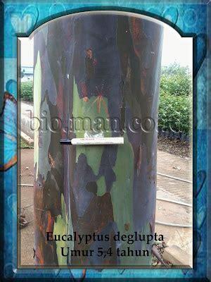 Bibit Jeruk Santang Madu Hijau harga tanaman eucalyptus info tanaman lengkap