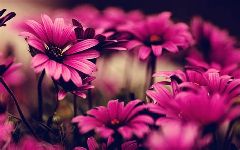 flower wallpaper pink flowers wallpapers wallpapers screensavers