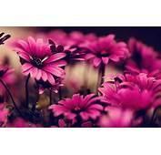 Gambar Bunga Berwarna Merah Muda
