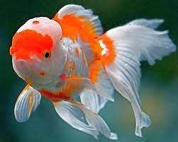 Pakan Ikan Koki Agar Cepat Bertelur cara membudidayakan ikan hias koki