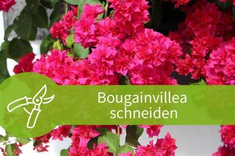 Bougainvillea Schneiden by Bougainvillea Schneiden Pflegeanleitung F 252 R 3 Jahreszeiten