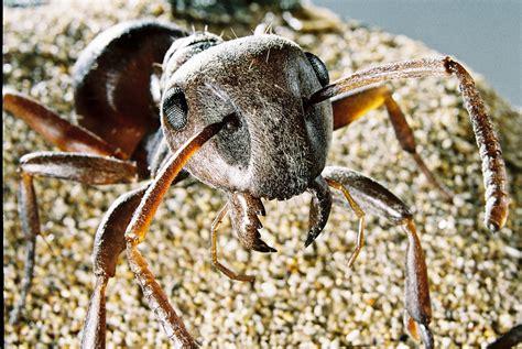Baut 35cm 1 schwarzbraune wegameisen insektenmodelle stoess