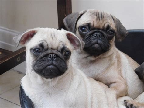 pug advert 2016 pug puppies for sale lancashire pets4homes