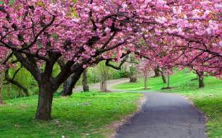 Cherry Bloosom Tree cherry blossom tree images amp pictures becuo