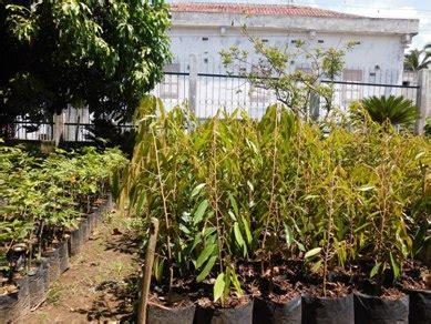 Bibit Durian Musang King Bersertifikat centra bibit duren sitokong durian sitokong
