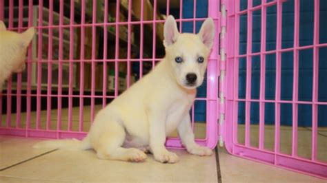 siberian husky puppies for sale in ga gorgeous white siberian husky puppies for sale in near atlanta ga at puppies
