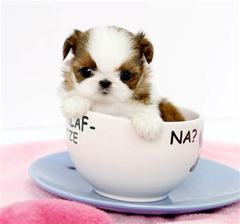 when does a shih tzu puppy become a shih tzu amanda 3 500 1 from royal teacup puppies in houston tx 77049