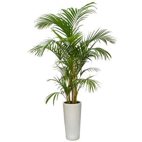 areca palm top 10 nasa air purifying plant