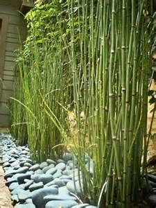 bamboo landscaping live equisetum horsetail plants bamboo zen