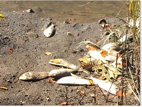 Lc Killing 41 thousands of fish washing up on river bank in guilford connecticut earth changes sott net