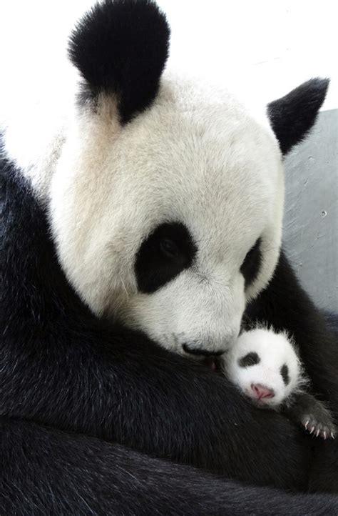 alimentazione panda il panda tian tian 232 incinta grande attesa per il