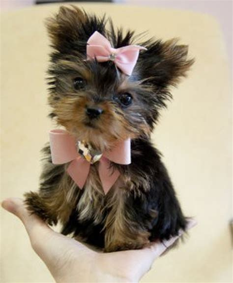 yorkies with bows teacup yorkie with a pink bow