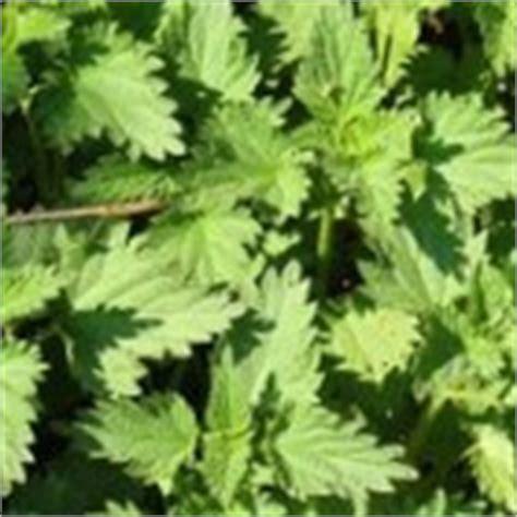 eetbaar onkruid in de tuin onkruid eten eetbare onkruiden uit de tuin en moestuin