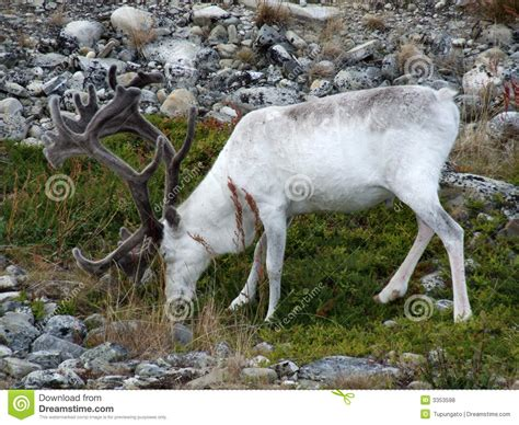 how to get raindear anters white white reindeer stock photo image of animal grazing 3353598