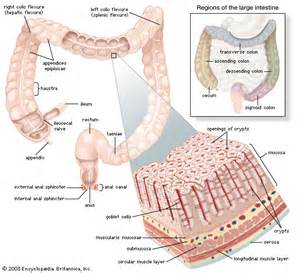 digestion of proteins