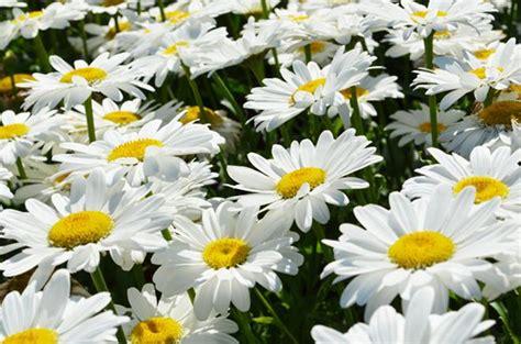 Chrysanthemum by Marguerite Becky