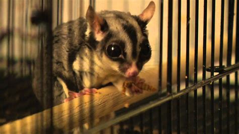 Sugar Glider Series pet vet smart fact series sugar gliders