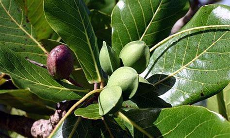 almond fruit tree fruit warehouse tropical almond terminalia catappa