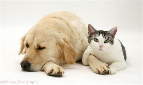 golden retriever cat pets cat and golden retriever photo wp23172