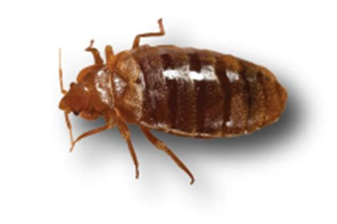 See Pictures Of Bed Bugs They Could Already Be Sleeping Next To You