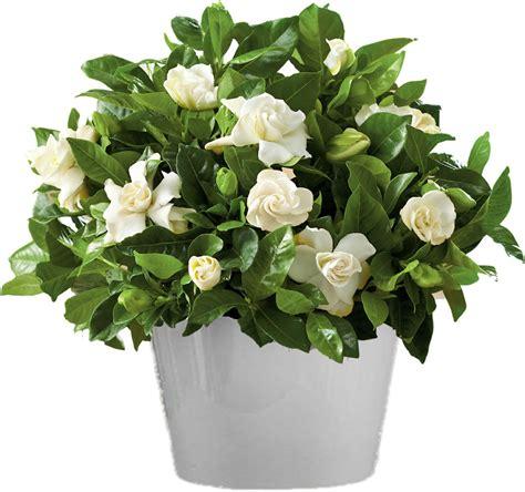 gardenia flower delivery 28 images gardenia flower gardenia in clay pot the flower shop