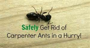 How To Get Rid Of Termites In Kitchen Cabinets Get Rid Of Big Black Carpenter Ants Simple Guidelines With Tips