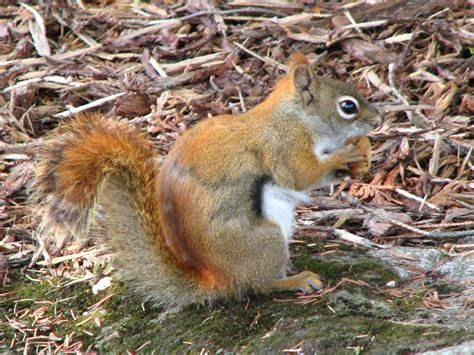 file red squirrel with nut jpg wikipedia