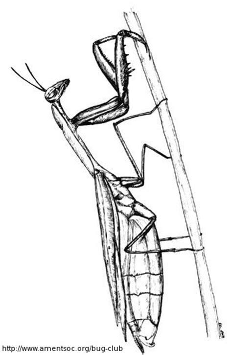 praying mantis printable coloring pages