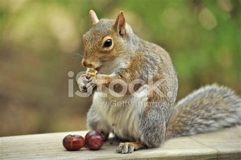 squirrel eating grapes and nuts stock photos freeimages com