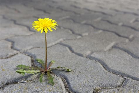 How To Remove Weeds Between Patio Stones by How To Remove Weeds In A Sidewalk Or Driveway