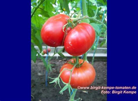 Tomaten Braunf Ule Resistent 3472 tomaten resistente sorten robuste widerstandsf hige