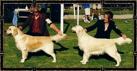 golden retriever club nsw montego judging photos