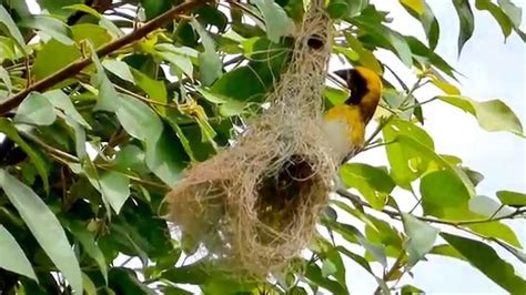 birds in their natural habitat weaver bird youtube