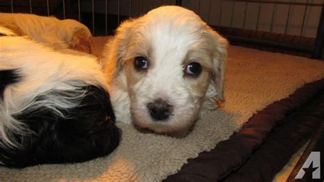 cavachon puppies mn cavachon puppies for sale in charles minnesota classified americanlisted