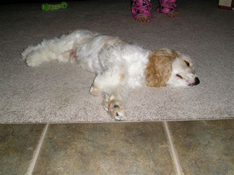 golden retriever cocker spaniel puppies for sale pin washington cocker spaniel puppies for sale kamistad on