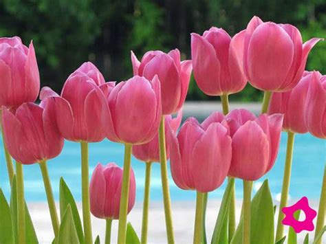imagenes tulipanes rosas tulipanes rosas pink pinterest tulipanes rosas