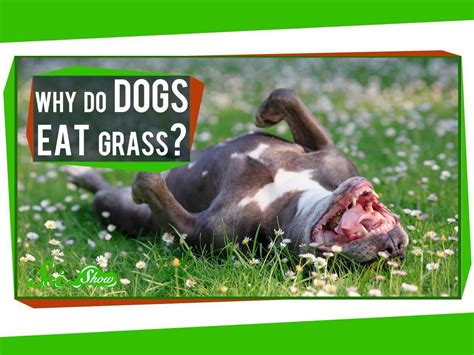 why do dogs why do dogs eat grass