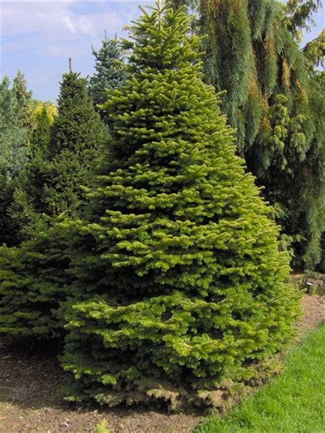 information care for conifers