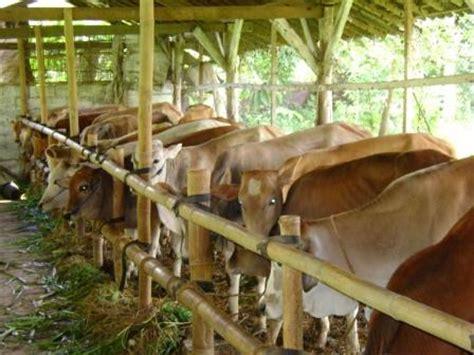 Bibit Sapi Limosin Jawa Timur potensi peternakan sapi potong di jawa timur